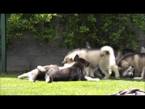 Alaskan Malamutes Puppies 7- 8 weeks old