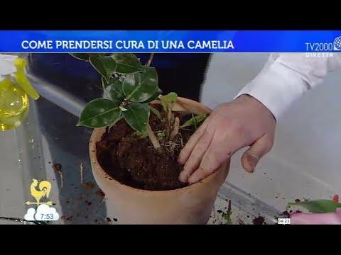 Come curare la camelia japonica in vaso o in giardino ...