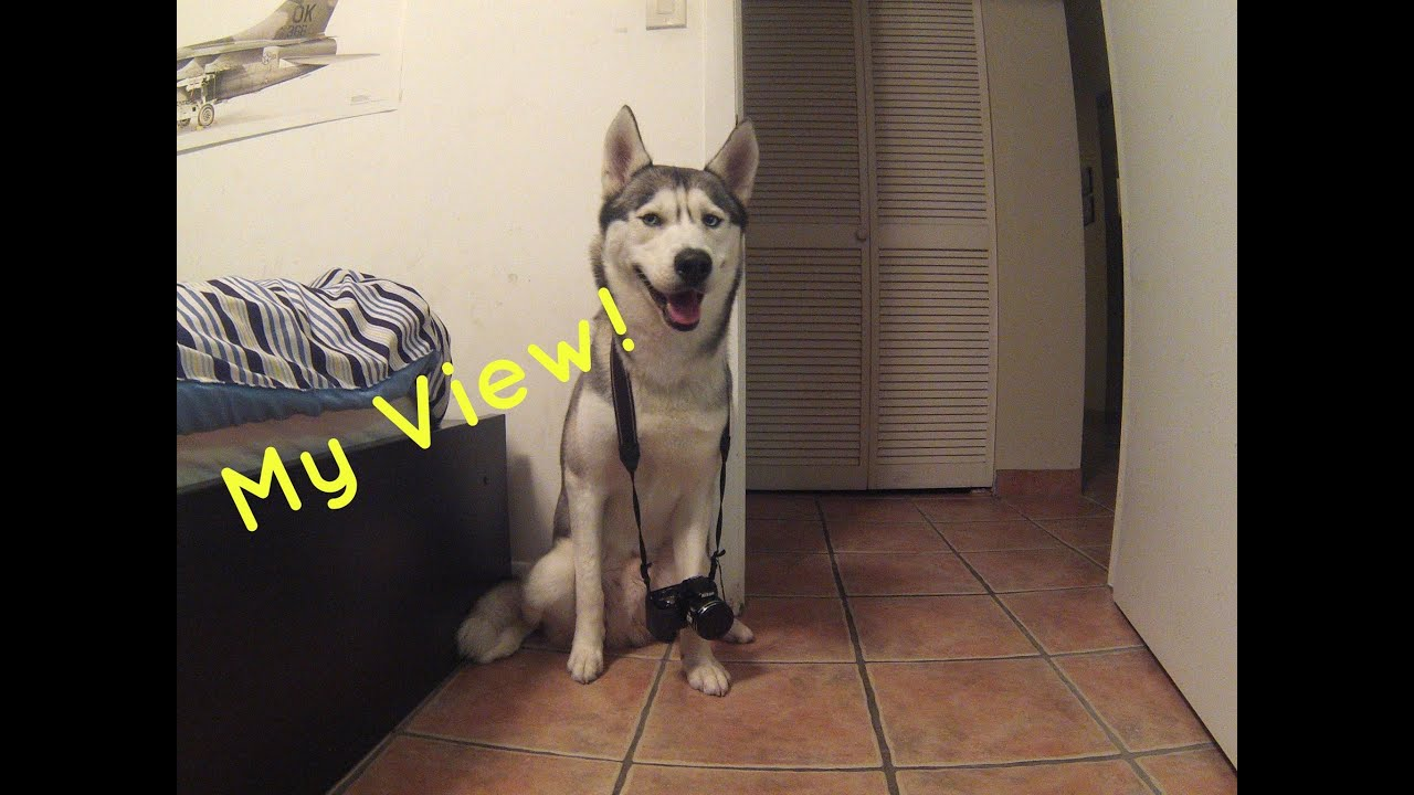 A Day In The Life Of A Husky! (Dogs Point Of View)