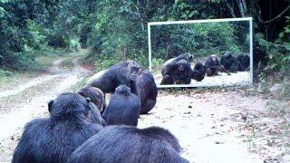 chimps and leopard addicted to mirror – à Nyonié chimpanzés et léopards accros au miroir