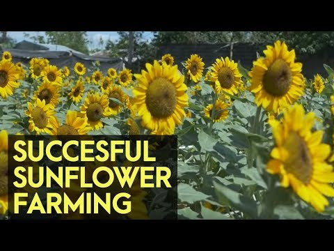 Sunflower farm instant success, answer to long 16 years of hard work | Agribusiness How It Works