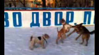 В Якутии волки мутанты, а в Москве бойцовские собаки...