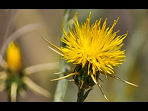 Yellow Star Thistle presented by Dr. Joseph DiTomaso