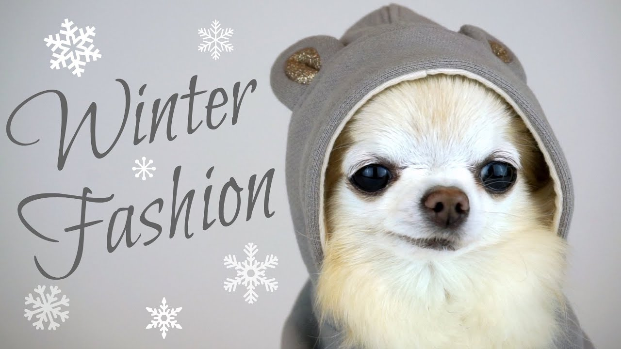 cute puppy sized chihuahua models winter dog fashion youtube