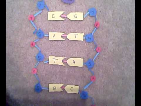 DNA molecule model and the effect of helicase and nuclease