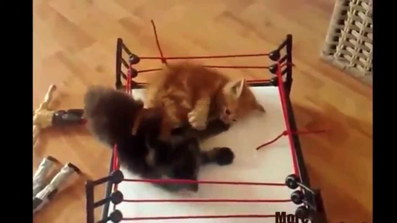 Cats Wrestling With Commentary From JR And King YouTube