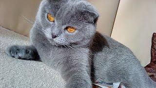 GERMANY. MY CATS IN HOME. Германия.Как я развожу кошек. Котята от моей лилак британки, им 7 недель.