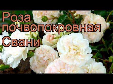 Роза почвопокровная Свани (rose cignus ustus cantat) 🌿 Свани обзор: как сажать, саженцы розы Свани