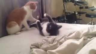 David Bowie the cat VS Freddie Mercury the cat