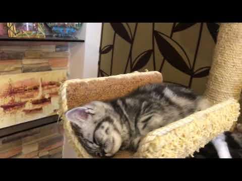 Полуденный сон (британские мраморные серебристые котята)