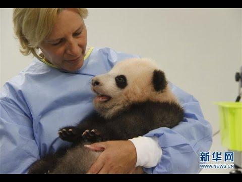 Belgian zoo's baby panda receives new name
