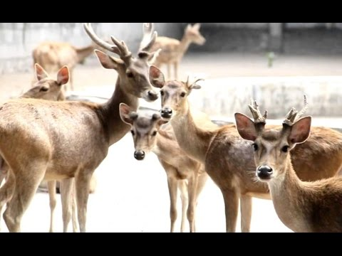 DEER in Colony - Kijang Rusa - Wild Life Animal Planet [HD]