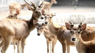 DEER in Colony - Kijang Rusa - Wild Life Animal Planet [HD]