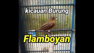 HD Audio Kicauan Burung Flamboyan