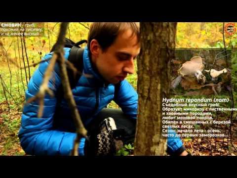 Польский гриб, моховик и ежовик