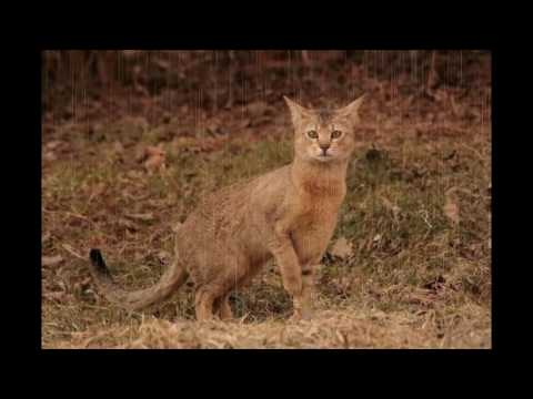 Chausie Cat and Kittens | History of This Charming Breed
