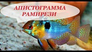 Апистограмма Рамирези в аквариуме. Содержание, разведение, совместимость.