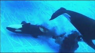 名古屋港水族館(名古屋市)で13日、千葉県の鴨川シーワールドから受け入れた3頭のシャチ一家の雌ステラ(推定26歳)が赤ちゃんを出産...