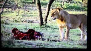 Human Scavengers hunt-Lions (Dorobo Tribe, Kenya) 2012