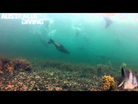 Sea Lion Dive at Port Giles Jetty (SA)