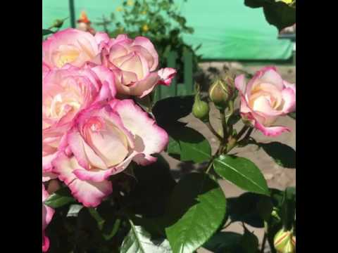 Роза флорибунда Ламинуэт