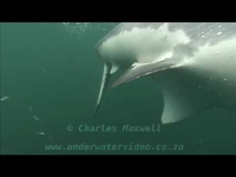 Great White Sharks  Filmed by Charles Maxwell