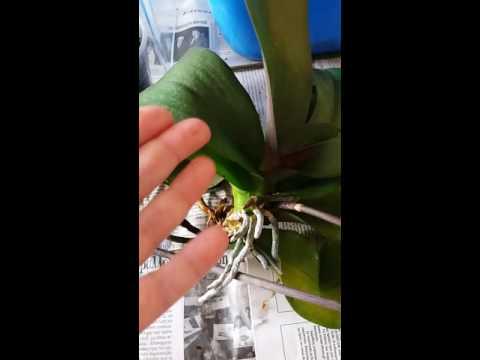 Строение орхидей — Клуб любителей орхидей