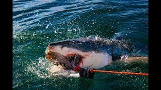 White shark cage diving, Mossel Bay, South Africa / weißer Hai Käfig tauchen, Südafrika