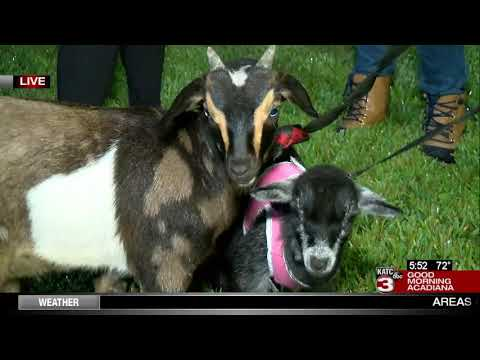 Goat Yoga coming to a back yard near you