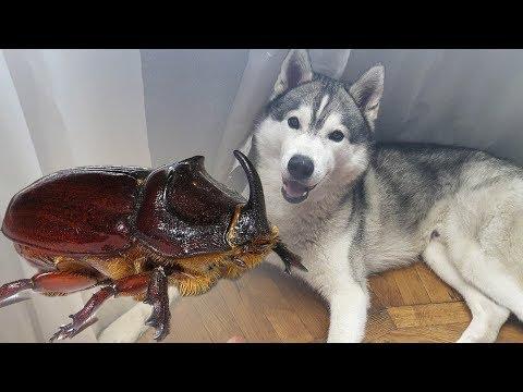 Хаски поймал жука   Husky caught a beetle