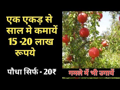 pomegranate farming tips in hindi