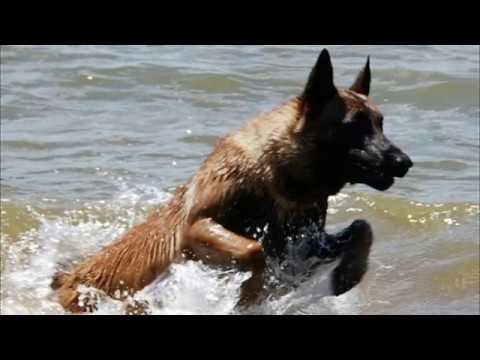 Belgian Malinois All About that Max not that Bass