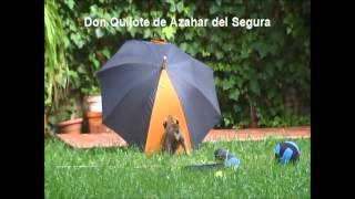 Boxer Puppies From Azahar Del Segura, Murcia (spain)