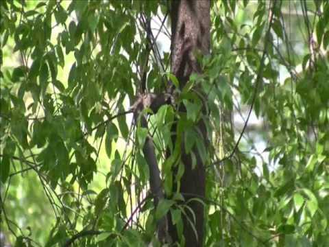 Sandalwood Santalum album Chandan Tree video by Shirishkumar Patil