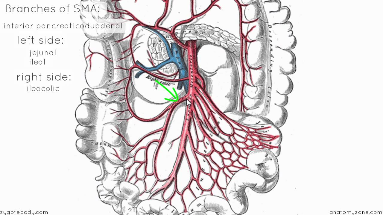 superior mesenteric artery - anatomy tutorial - youtube, Human Body