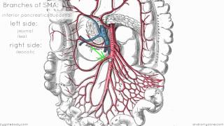 Superior Mesenteric Artery - Anatomy Tutorial