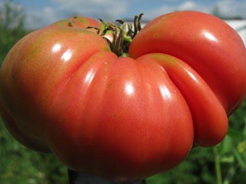 Tomato cloning life hack