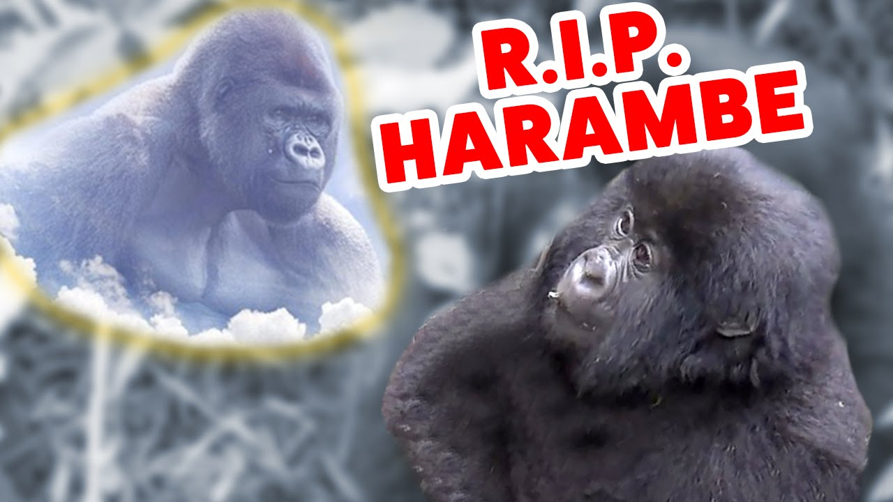 HARAMBE & Friends Cute Animal Compilation | Funniest Gorillas & Monkeys 2016