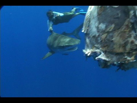 Bermuda Tiger Shark Project