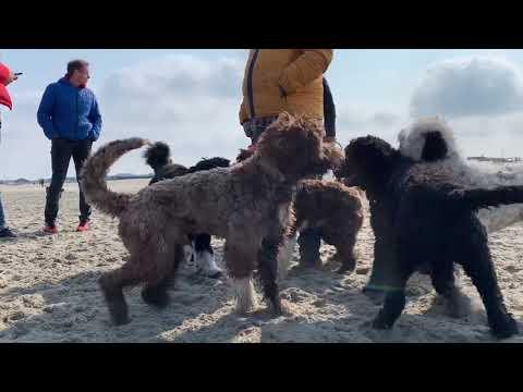 Portuguese Waterdog Beachwalk 2019