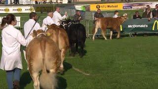 Heffer Biff Masnachol dan 425kg | Comm. Beef Heifer under 425kg