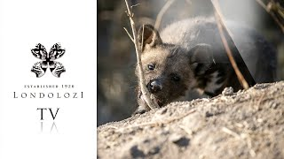 Virtual Safari: Ultimate Game Drive Highlights #70- Londolozi TV