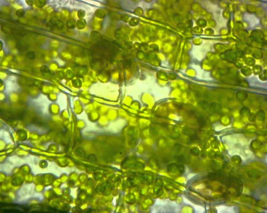 Chlorophyll Granule in a Plant cell - YouTube