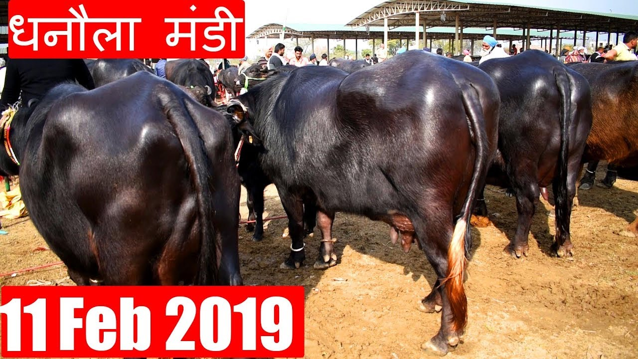 Latest Dhanaula Mandi 11 Feb 2019 | Murrah buffalo