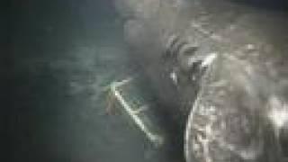深海の巨大サメ オンデンザメ Pacific Sleeper Shark