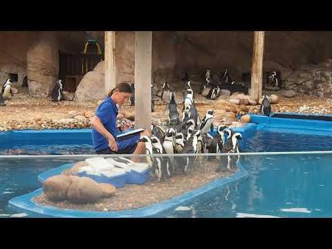 Morning feeding of African penguins at uShaka Seaworld