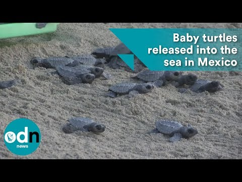 Baby turtles released into the sea in Mexico