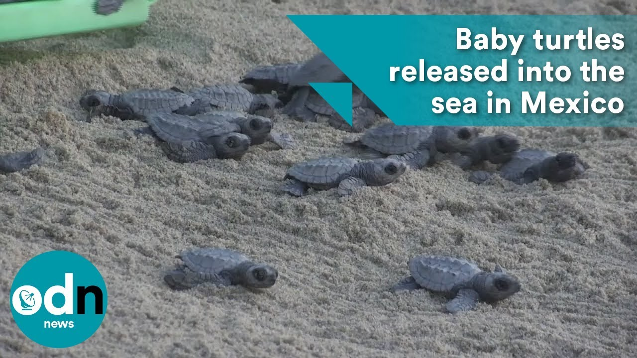 Baby Turtles Released Into The Sea In Mexico Youtube