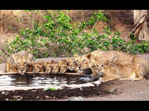 UNBELIEVABLE LION VIDEO 10 Asiatic lions big pride are going to drinking Water in Gir forest