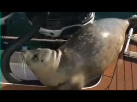 Seal Hops on Boat to Escape Killer Whales